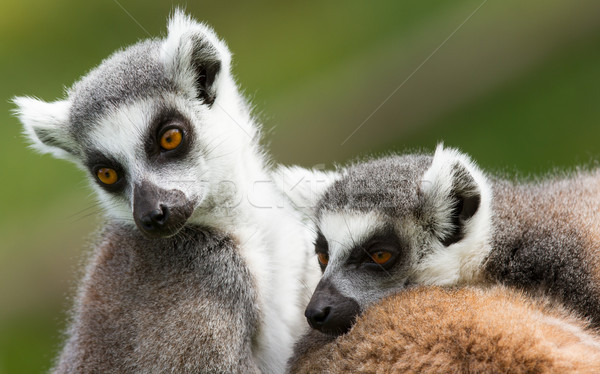 Two ring-tailed lemurs (Lemur catta) Stock photo © michaklootwijk