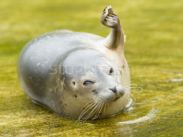 Common seal resting in the water Stock photo © michaklootwijk