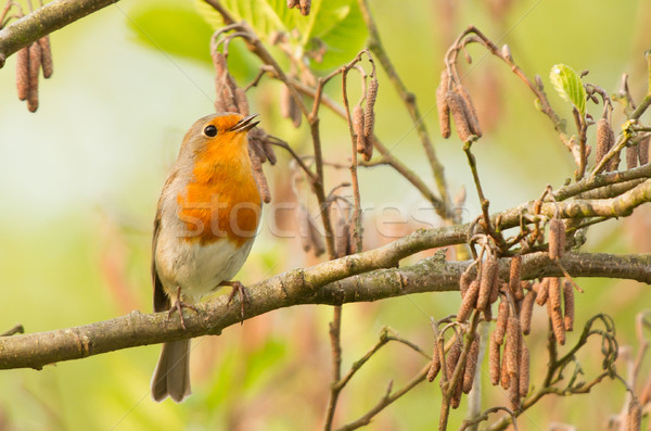 Robin perched on a twig Stock photo © michaklootwijk