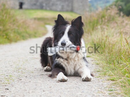 Border collie chien de berger attente plastique bouteille bouche Photo stock © michaklootwijk