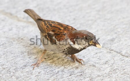 Male sparrow begging Stock photo © michaklootwijk