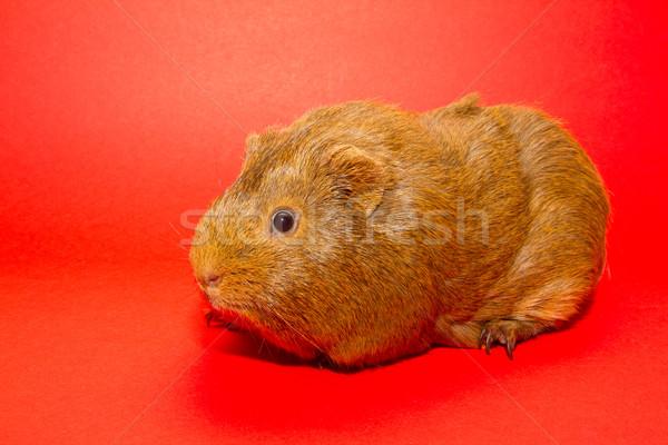 морская свинка красный природы красоту свинья лаборатория Сток-фото © michaklootwijk