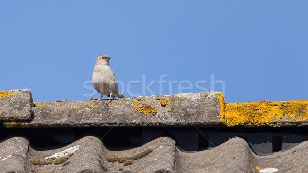 воробей крыши Top птица Перу красный Сток-фото © michaklootwijk