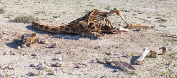 Killed giraffe Stock photo © michaklootwijk