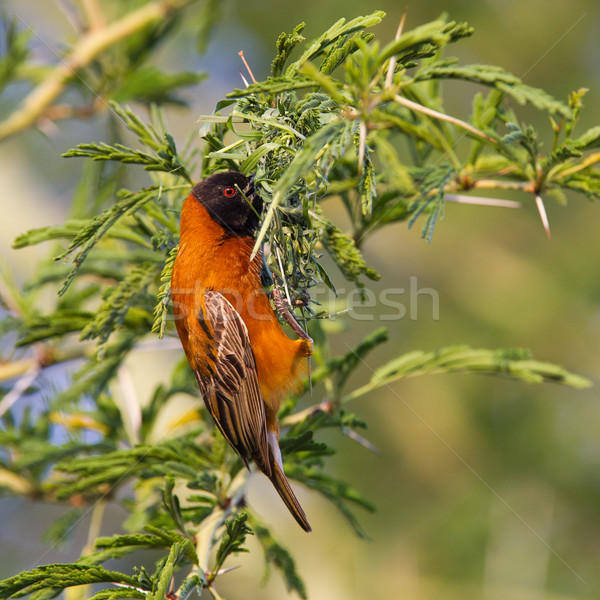 Southern Red Bishop busy building a nest Stock photo © michaklootwijk