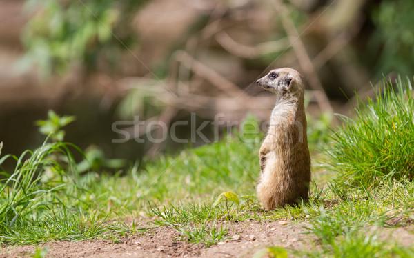 Meerkat portrait Stock photo © michaklootwijk