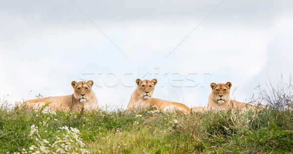 Stock photo: Three female lions