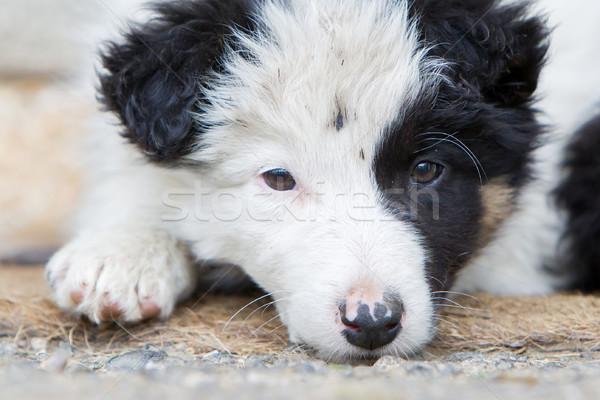 Kicsi juhászkutya kutyakölyök farm barna baba Stock fotó © michaklootwijk