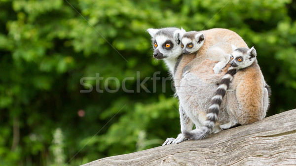 Ring-tailed lemur in captivity Stock photo © michaklootwijk