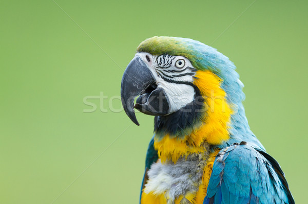 Close-up of a macaw parrot Stock photo © michaklootwijk