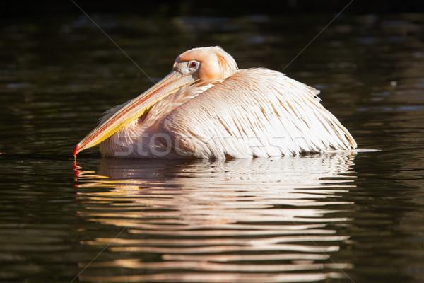 Pink pelican in the water Stock photo © michaklootwijk