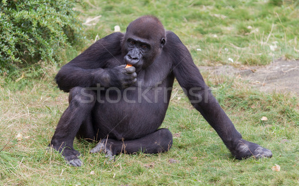 Adult gorilla eating Stock photo © michaklootwijk