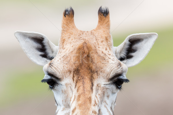 Giraffe close up, selective focus Stock photo © michaklootwijk
