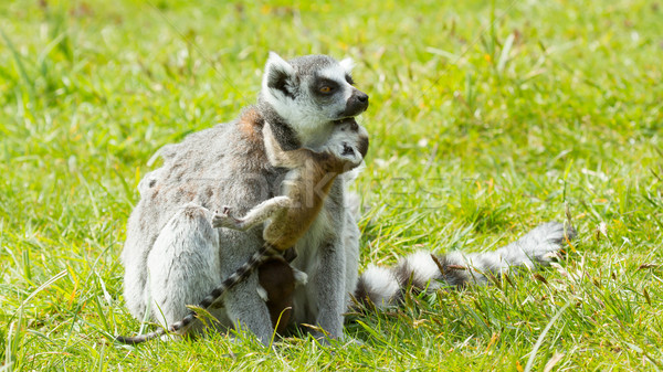 Ring-tailed lemur  Stock photo © michaklootwijk