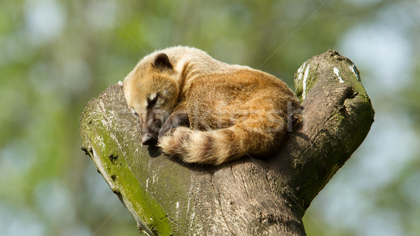 Sleeping coatimundi  Stock photo © michaklootwijk