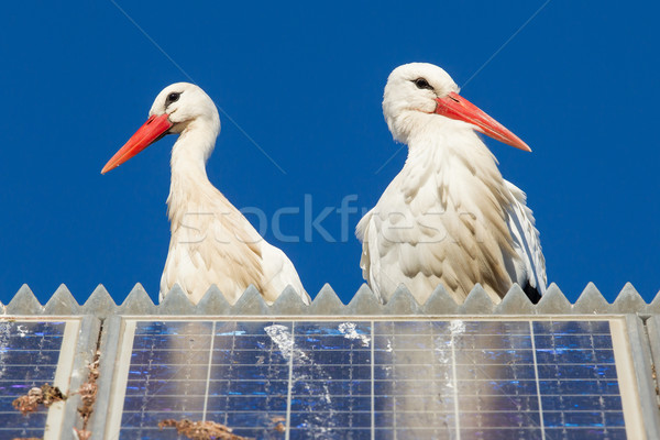 Pair of storks standing on a solar panel Stock photo © michaklootwijk