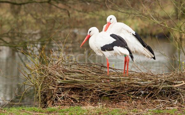 Pár áll fészek fű test toll Stock fotó © michaklootwijk
