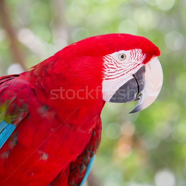 Red Macaw Stock photo © michaklootwijk