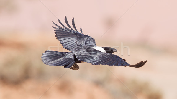 Pied crow (corvus albus) Stock photo © michaklootwijk