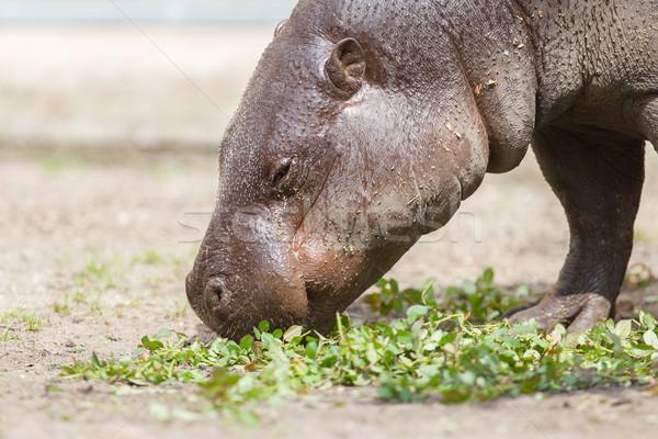 Pygmy hippopotamus (Choeropsis liberiensis) Stock photo © michaklootwijk
