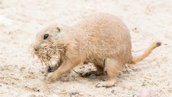 Stock fotó: Préri · kutya · természetes · élőhely · gyűlés · természet