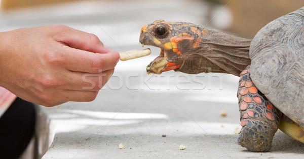 Cseresznye fej piros láb teknősbéka háttér Stock fotó © michaklootwijk