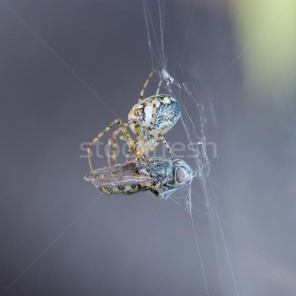 Stockfoto: Klein · spin · eten · vliegen · macro · shot
