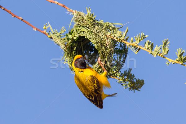 Southern Yellow Masked Weaver  Stock photo © michaklootwijk