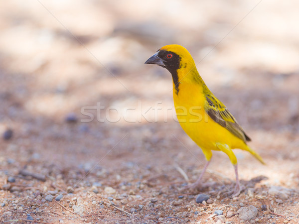 Southern Yellow Masked Weaver, selective focus on eyes Stock photo © michaklootwijk