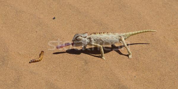 Camaleão caça deserto Namíbia olhos areia Foto stock © michaklootwijk