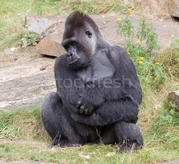 Zilver mannelijke gorilla genieten bos natuur Stockfoto © michaklootwijk