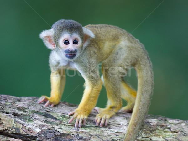 Kicsi mókus majmok szelektív fókusz fa boldog Stock fotó © michaklootwijk