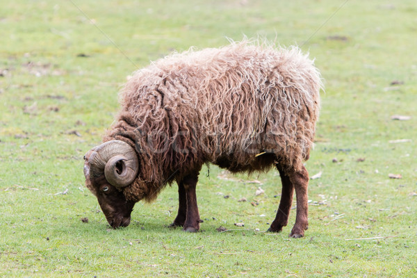 Brown Icelandic sheep with curled horns Stock photo © michaklootwijk