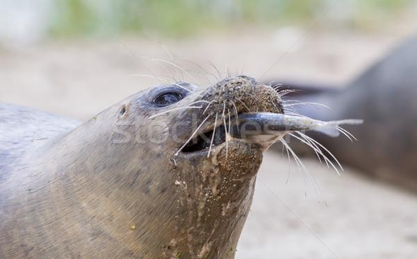 Sea lion closeup, eating fish Stock photo © michaklootwijk