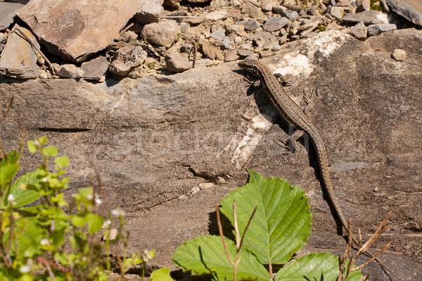 A lizard on a rock Stock photo © michaklootwijk