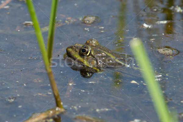 Frog in pond in spring  Stock photo © michaklootwijk