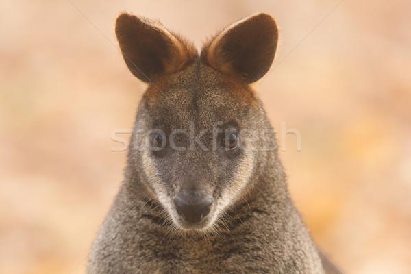 Close-up swamp wallaby Stock photo © michaklootwijk