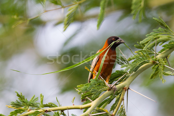 Stock photo: Southern Red Bishop busy building a nest