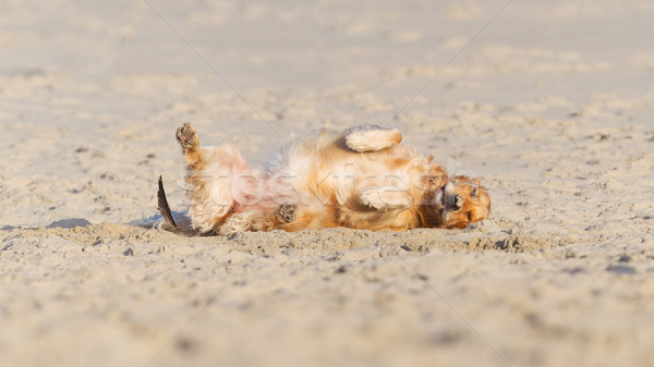 Happy dog rolling - Golden retreiver Stock photo © michaklootwijk