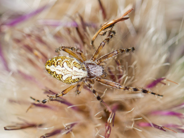 Small spider hiding in a flower Stock photo © michaklootwijk