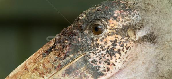 Extreme close-up of an marabu Stock photo © michaklootwijk