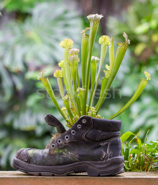 Pitcher plants in an old shoe Stock photo © michaklootwijk
