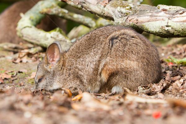Sleeping parma wallaby Stock photo © michaklootwijk