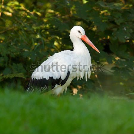 Stork in its natural habitat  Stock photo © michaklootwijk