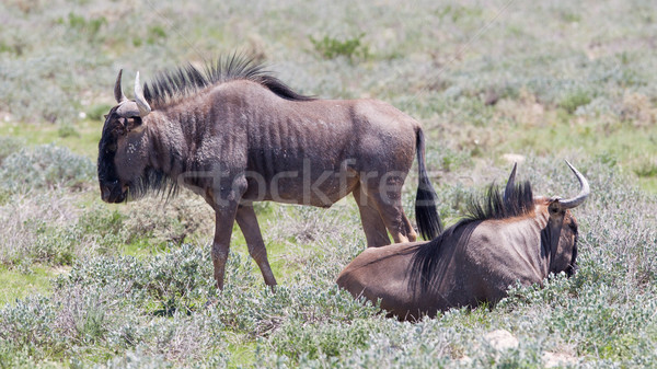 Wildebeest walking the plains of Etosha National Park Stock photo © michaklootwijk