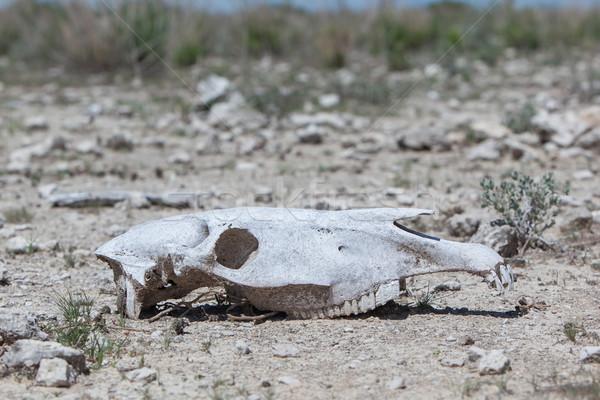 Zebra skull on the ground in Etosha national park Stock photo © michaklootwijk