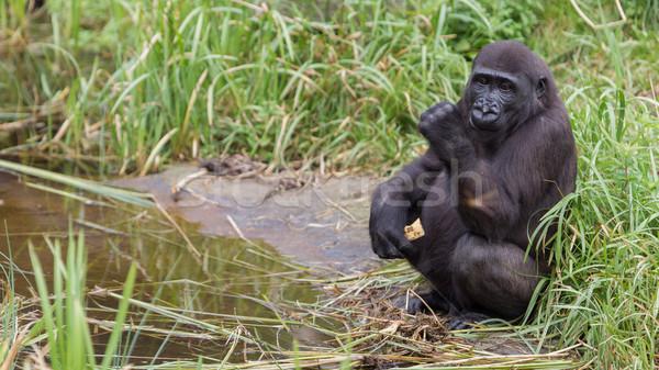 Fiatal gorilla eszik darab gyümölcs étel Stock fotó © michaklootwijk