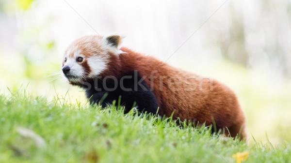 赤 パンダ ツリー 自然 猫 葉 ストックフォト © michaklootwijk