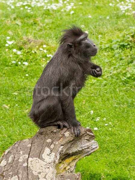 Crested Black Macaque (Macaca nigra) Stock photo © michaklootwijk