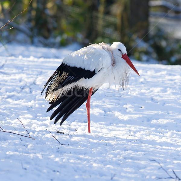 Adulto cicogna piedi neve inverno corpo Foto d'archivio © michaklootwijk